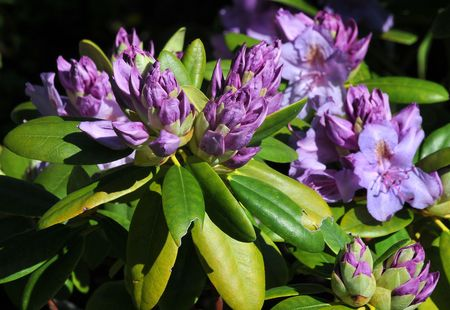 ericaceae: Growing rhododendron
