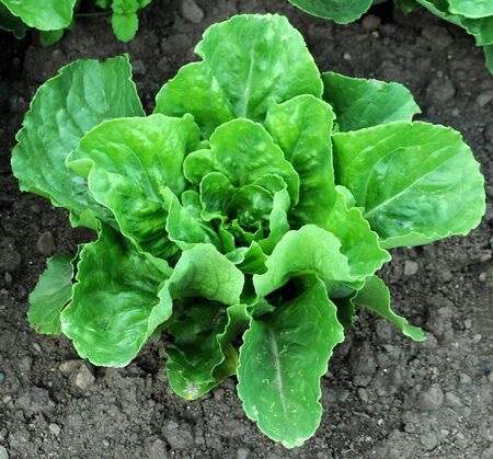 fighting cancer: Growing head of romaine lettuce