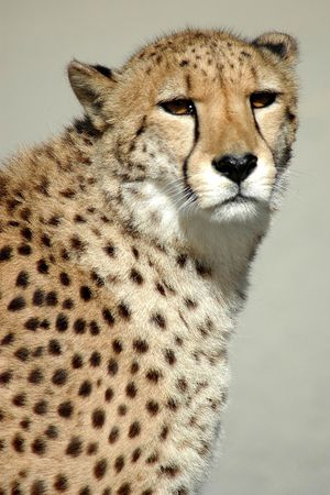 Observant cheetah