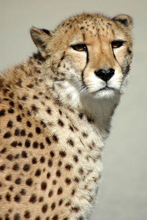 observant: Observant cheetah