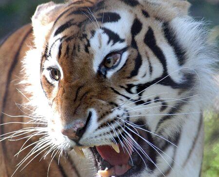 Angry Siberian tiger photo