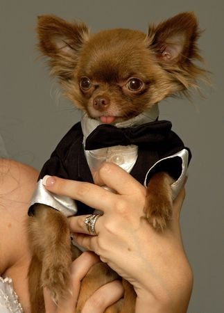 Minauture Chihuaua groom photo