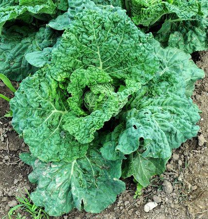 Savoy cabbage Banco de Imagens - 5865128