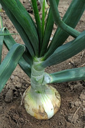 Sweet onion in the soil