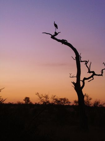 atop: Bird atop a dying tree at dusk Stock Photo