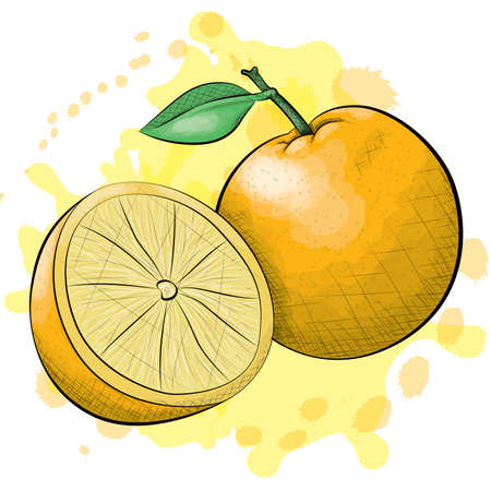 cross hatching: A vector illustration of one and a half oranges in an ink and watercolor style on a splattered background. Illustration