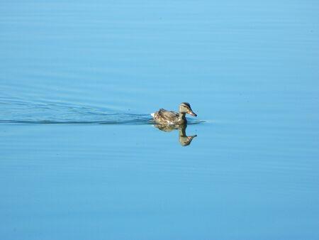 외로운 오리 물 위에