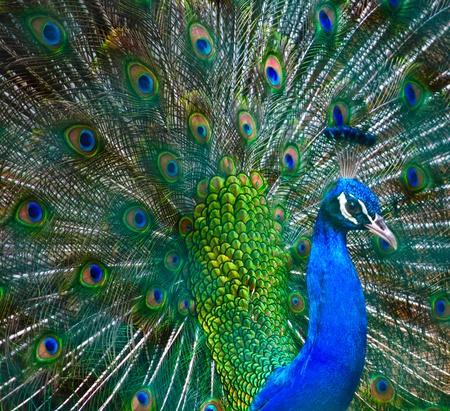 phasianidae: Indian Peacock Dancing
