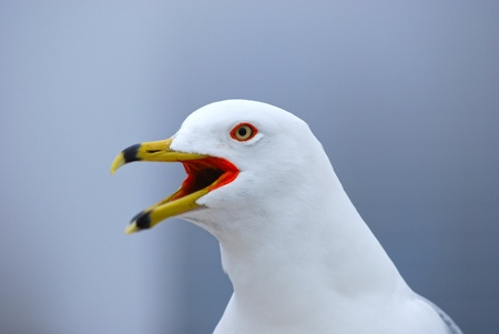 Beauiful eyes and colorful beak of seagull photo