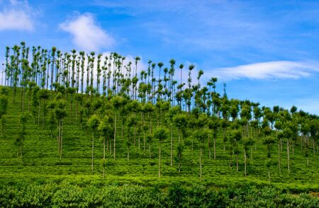 Tea plantations basking in sun light in India photo