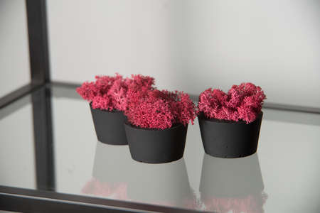 claret moss in a black concrete pot on a shelf