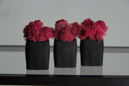 claret moss in a black concrete pot on a shelf