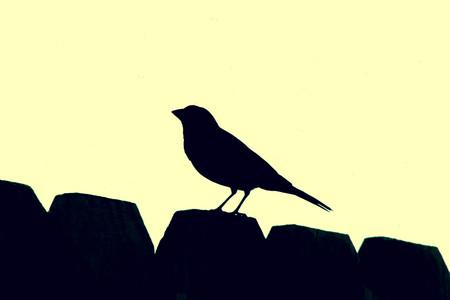 birding: Songbird Silhouette