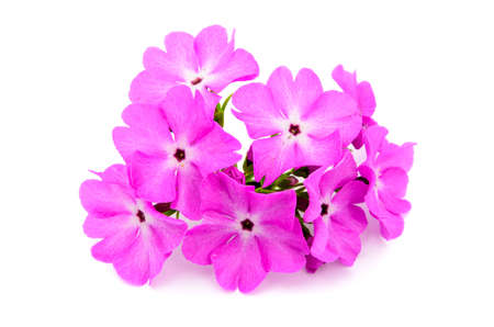 primula: A large pink flowered primrose isolated on white  Stock Photo