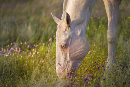 Akhal-Teke horse with blue eyes