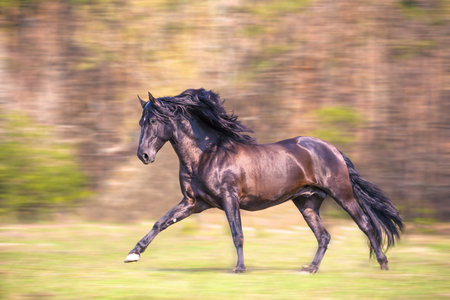 the black Andalusian horse is running Stock Photo