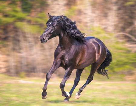 andalusian: the black andalusian horse is running
