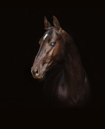 Akhal-Teke dark horse with blue eyes
