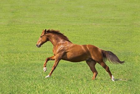 rode paard lopen op het groene veld