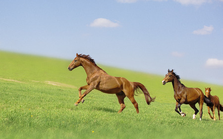 A few horses are running on the green field