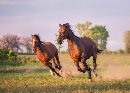 Two brown horse are running in the green field
