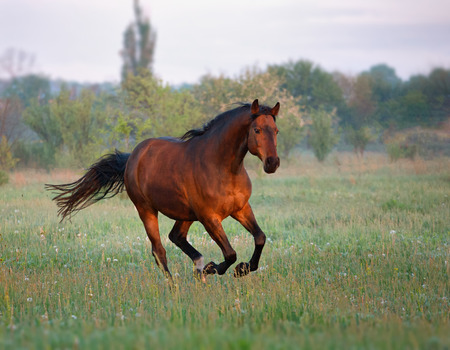 brown horse galloping forward in the summer morning Stok Fotoğraf