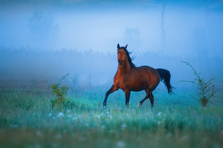 horses in field: Brown horse is running throw the strong fog
