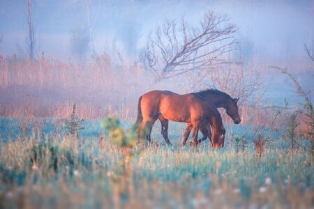 graze: Two brown horses graze in the summer foggy early morning