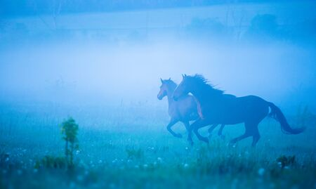 Two horses are running through the strong fog