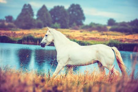 white horse is running along the lake shore