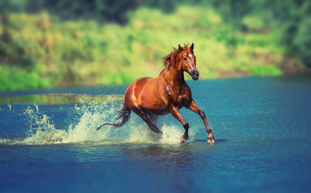 red horse is running across the blue lake Foto de archivo