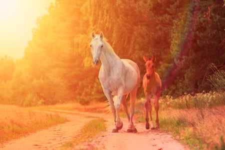 mare and foal: white mare with a little foal in the sunrise rays