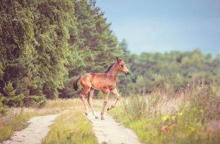 runing: brown foal runing in the field