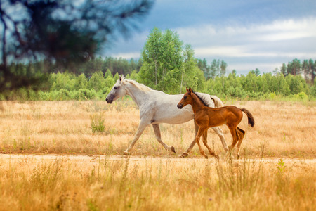 mare and foal: white mare with the brown foal Stock Photo