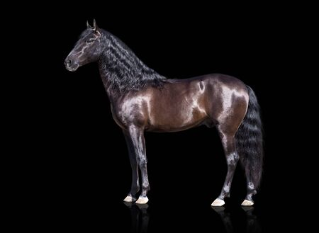 horse andalusian horses: isolate of the exterior brown Andalusian horse on the black background