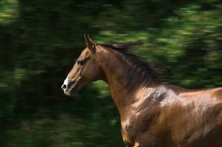 Portrait of the brown Akhal-Teke stallion