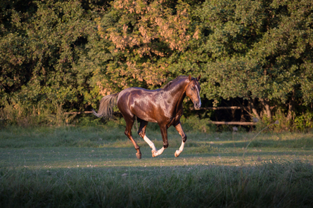 Brown Akhal-Teke horse running on the trees background at the summer