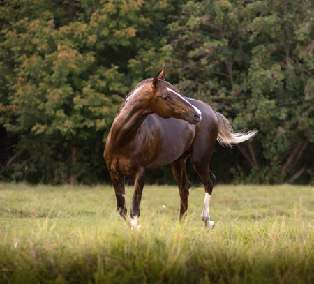 Brown Akhal-Teke horse stays on the trees background at the summer