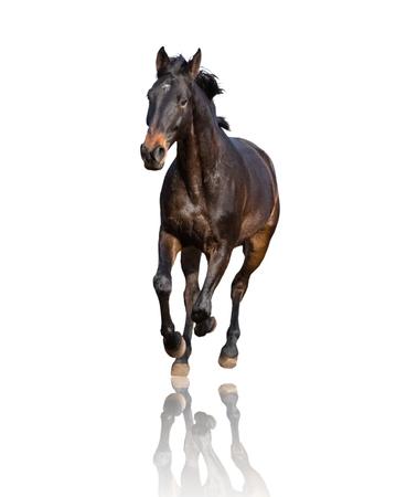 Bay horse isolated on white background runs forward Imagens