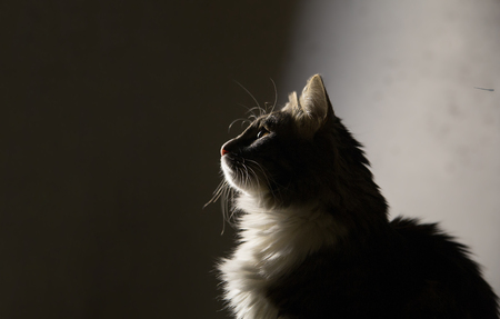 portrait of fluffy cat in profile on gray gradient background in studio