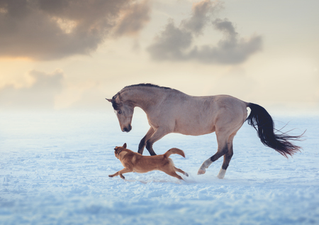 Buckskin stallion play with red dog on sky sunset background Stock Photo