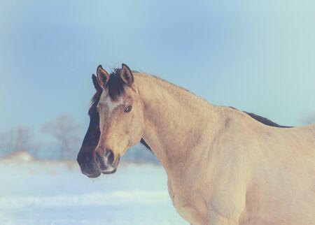 Portrait of buckskin stallion on sky background Stock Photo