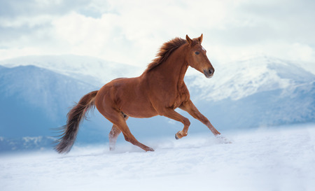 Red horse runs on snow on mountains background Standard-Bild