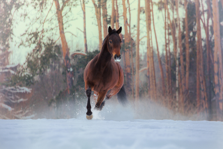 Bay horse runs on snow on forest background
