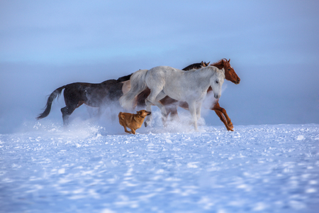 Herd of several horses with dog run on snow on blue sky background Stock Photo