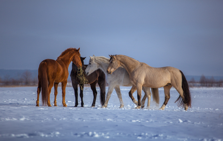 Herd of several horses stay in snow