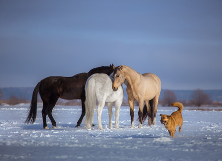 Herd of several horses stay in snow. Black, white and backskin horse and red dog Stock Photo