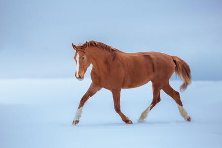 Red horse trotting in snow on sky background 版權商用圖片