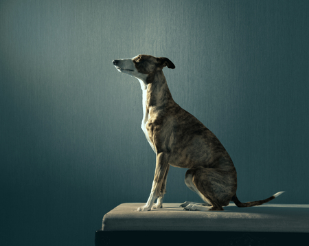 Elegant hunter dog sits on the coach on dark background
