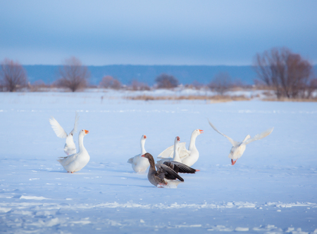A flock of white geese and one gray goose on the snow